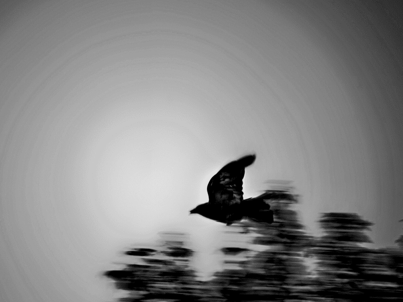 Black and white bird in flight